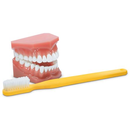 Hygiene Demo Model And 11 1/2 Toothbrush