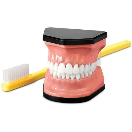 Oversize Demonstrator Model And Toothbrush Set